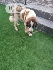 Adult Male Purebred Saint Bernard | Dogs & Puppies for sale in Lagos State, Badagry