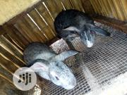 America Chinchila Doe&Buck | Other Animals for sale in Ogun State, Odeda