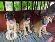 Baby Female Purebred Boerboel   Dogs & Puppies for sale in Abuja (FCT) State, Gudu