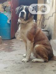 Adult Female Purebred Saint Bernard | Dogs & Puppies for sale in Plateau State, Jos