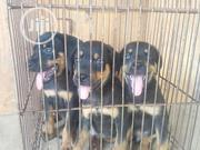 Baby Female Purebred Rottweiler | Dogs & Puppies for sale in Lagos State, Gbagada