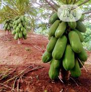 Rehoboth Cooperative Multipurpose Society Seedlings And Seeds | Feeds, Supplements & Seeds for sale in Lagos State, Kosofe