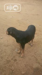Adult Female Mixed Breed Rottweiler | Dogs & Puppies for sale in Cross River State, Calabar