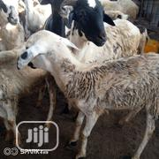 Native Sheep, Not Hausa Sheep. Adaptable To Southern Nigeria | Livestock & Poultry for sale in Lagos State, Ikorodu