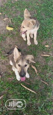 Young Male Mixed Breed German Shepherd | Dogs & Puppies for sale in Cross River State, Calabar