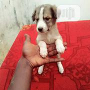 Young Female Purebred Mongrel (No Breed) | Dogs & Puppies for sale in Kaduna State, Kaduna