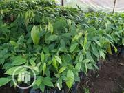 Hybrid Cocoa Seedlings | Feeds, Supplements & Seeds for sale in Edo State, Okada