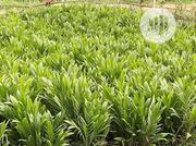 Tenera Palm Seedling | Feeds, Supplements & Seeds for sale in Edo State, Benin City