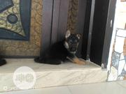 Baby Female Purebred German Shepherd | Dogs & Puppies for sale in Plateau State, Jos
