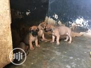 Baby Female Purebred Bullmastiff | Dogs & Puppies for sale in Plateau State, Jos