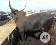 Cow For Sale | Livestock & Poultry for sale in Lagos State, Badagry