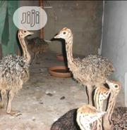 Ostrich Birds Available | Birds for sale in Kano State, Nasarawa-Kano
