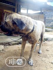 Young Female Purebred Boerboel | Dogs & Puppies for sale in Cross River State, Calabar