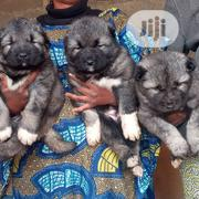 Baby Male Purebred Caucasian Shepherd | Dogs & Puppies for sale in Plateau State, Jos