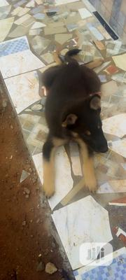 Young Male Mixed Breed German Shepherd | Dogs & Puppies for sale in Cross River State, Ogoja