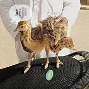 Ostrich Birds | Birds for sale in Abuja (FCT) State, Karu