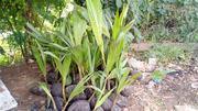 Coconut Seedlings   Feeds, Supplements & Seeds for sale in Oyo State, Ibadan