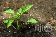 Basil Seedling Herbs And Spices | Meals & Drinks for sale in Plateau State, Jos
